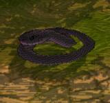 黑毒蛇 怪物永久連結