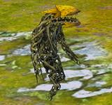 黃色食蟲植物 怪物永久連結